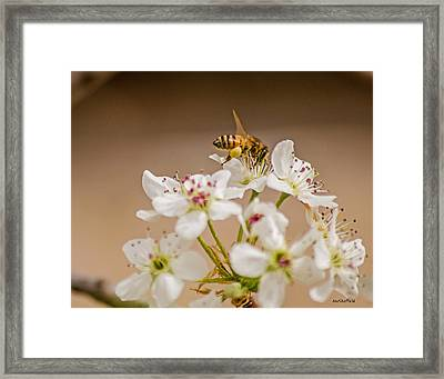 Bee Working The Bradford Pear 4 Framed Print