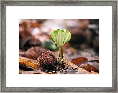 Beech (fagus Sylvatica) Tree Seedling Framed Print