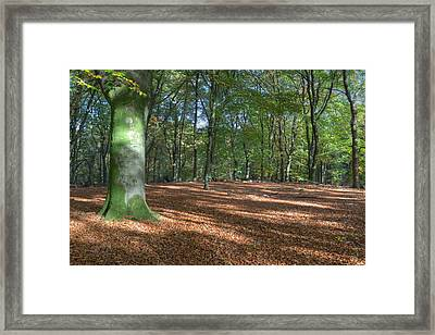 Beech Forest In Autumn On The Veluwe Framed Print