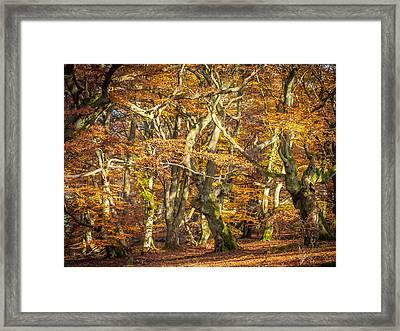 Beech Tree Group In Autumn Light Framed Print by Martin Liebermann
