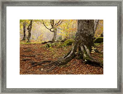Beechwood Framed Print by Javier Fores