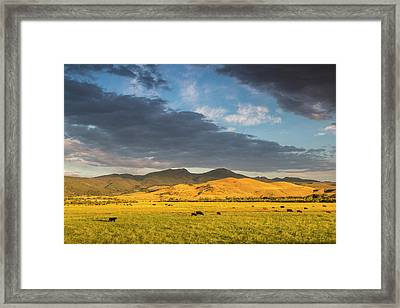 Beef Cattle Graze In Pasture At Sunrise Framed Print by Chuck Haney