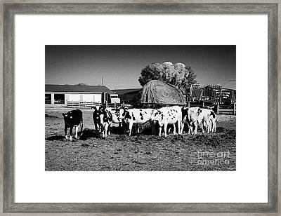 beef cattle herd usask university research saskatoon Saskatchewan Canada Framed Print