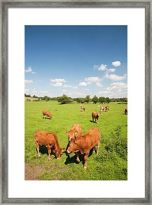 Beef Cattle In Grindleton Framed Print