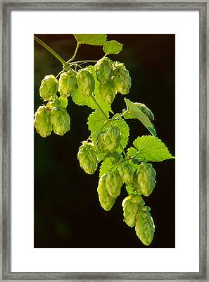 Beer Hops Framed Print by Anonymous