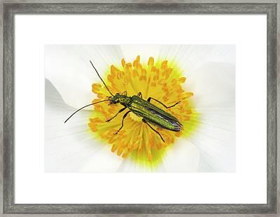Beetle On A Flower Framed Print by Nigel Downer