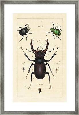Beetles Framed Print by King's College London