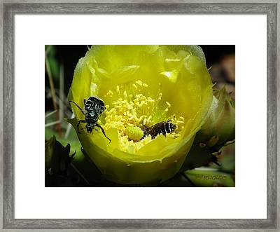 Pollinating Cacti Bloom Framed Print