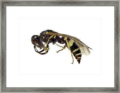 Beewolf Framed Print by F. Martinez Clavel