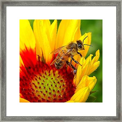 Beezy Bee Framed Print by Nick Kloepping