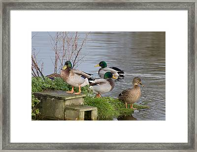 Before Starting Any Project One Must Line Up Your Ducks Framed Print by Dave Byrne