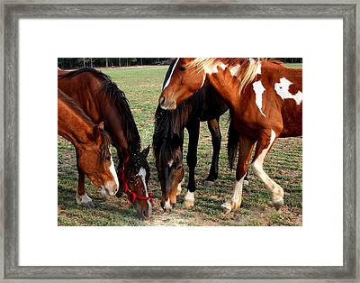 Beginning Of Stampede Framed Print by Cathy Harper