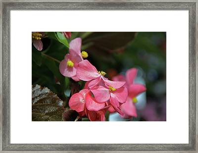 Begonia Beauty Framed Print