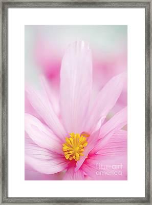 Begonia Boliviensis Pink Framed Print