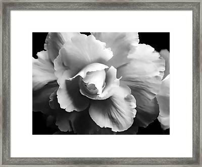 Begonia Flower Monochrome Framed Print