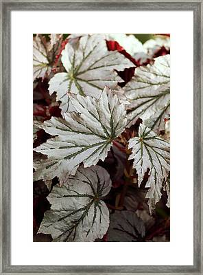 Begonia 'looking Glass' Framed Print by Maria Mosolova