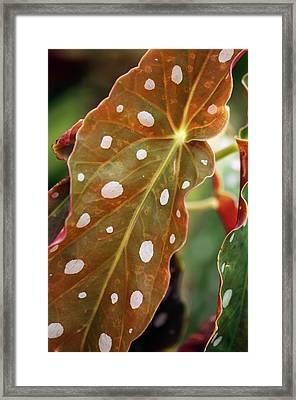 Begonia Maculata 'wightii' Framed Print by Maria Mosolova