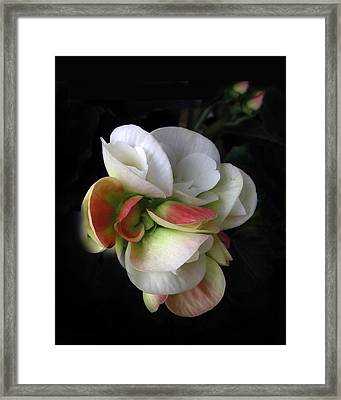Begonia Petals Framed Print by Jessica Jenney