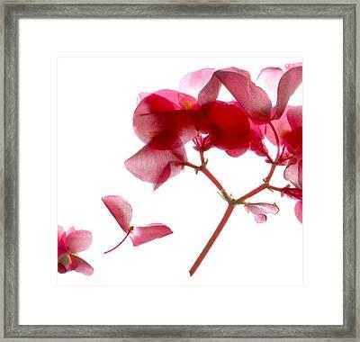 Begonia Pink Vii Framed Print