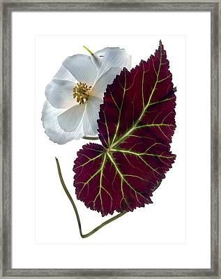 Begonia White Framed Print by Julia McLemore