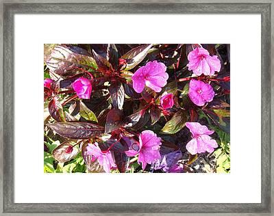 Begonias Framed Print by Van Ness