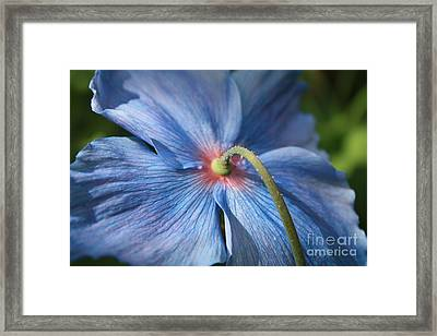Behind The Blue Poppy Framed Print by Carol Groenen