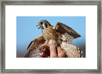 Behold The American Kestrel Framed Print by Nathan Rupert