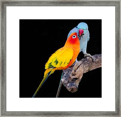 Sun Conure And Ring Neck Parakeet 2 Framed Print