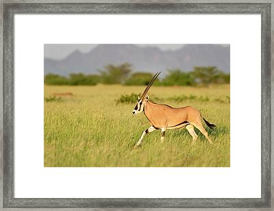 Beisa Oryx Running In Awash National Park Framed Print by Tony Camacho