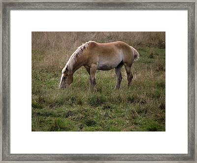 Belgian Draft Horse Framed Print