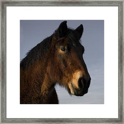 Belgian Horse Framed Print by TouTouke A Y