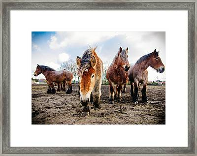 Belgian Horses Framed Print by Pati Photography