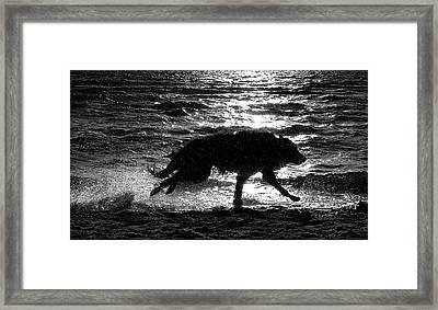 Belgian Shepherd Groenendael Running Along Sea Shore Framed Print by Wolf Shadow  Photography