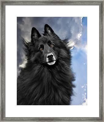 Belgian Shepherd Groenendael  Framed Print
