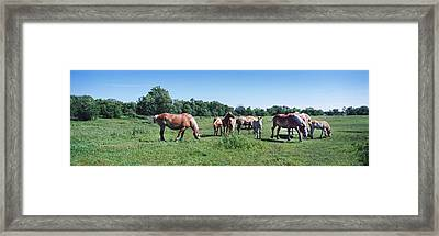 Belgium Horses Grazing In Field Framed Print by Panoramic Images