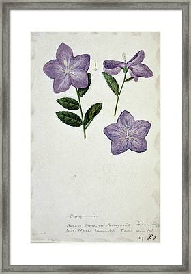 Bellflower Framed Print by Natural History Museum, London/science Photo Library