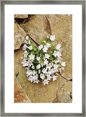 Bellflowers (campanula Betulifolia) Framed Print