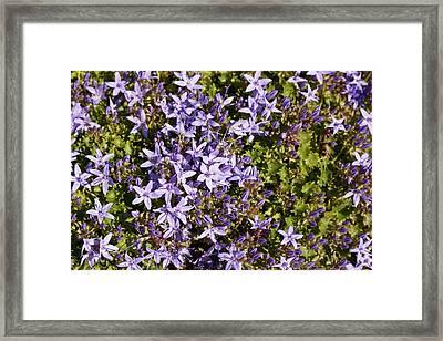 Bellflowers (campanula Elatines) Framed Print