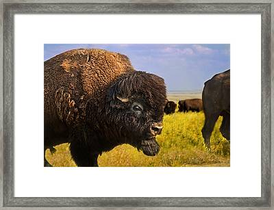 Belligerent Bison Framed Print by Tracy Munson