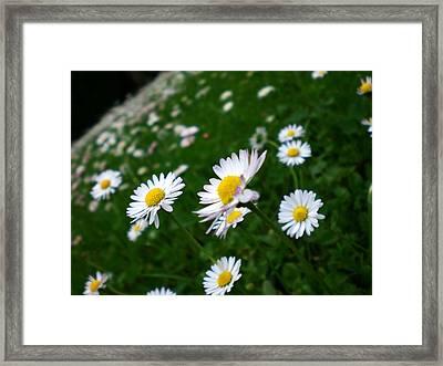 Bellis Framed Print