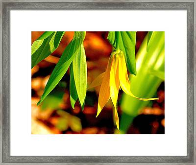 Bellwort On Display Framed Print