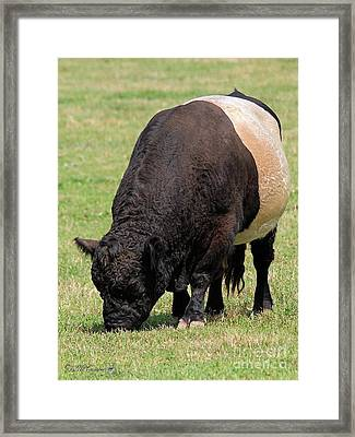 Belted Galloway Bull Framed Print by J McCombie