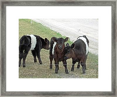 Belted Galloway Calves Framed Print by J McCombie
