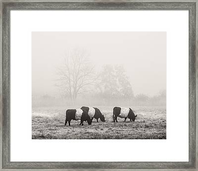 Belted Galloway Cows On Foggy Farm Field In Maine Framed Print