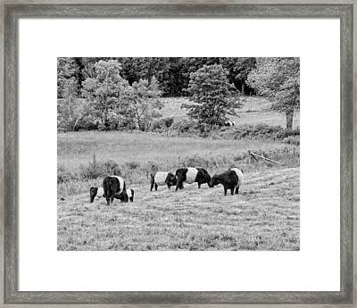 Belted Galloway Cows Rockport Maine Black Andc White Photograph Framed Print by Keith Webber Jr