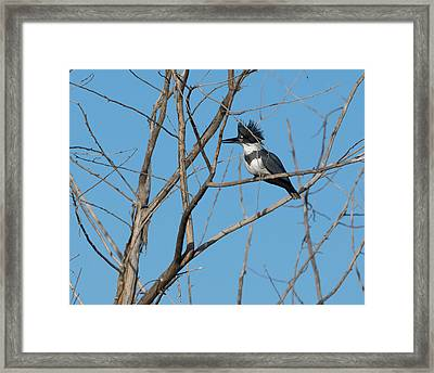 Belted Kingfisher 4 Framed Print