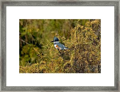 Belted Kingfisher Female Framed Print by Anthony Mercieca