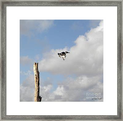 Belted Kingfisher In Flight Framed Print