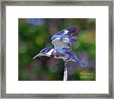 Belted Kingfisher Framed Print by Rodney Campbell