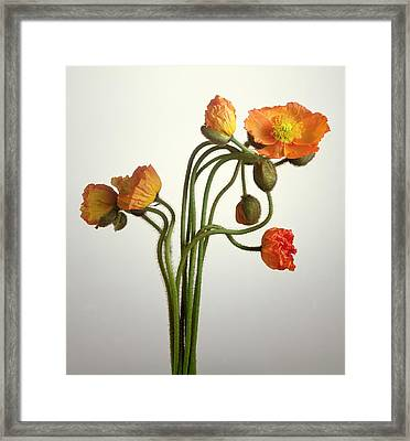 Bendy Poppies Framed Print by Norman Hollands